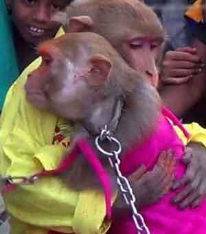 جشن عروسی دو میمون در هند + عکس مجموعه : مطالب جالب و خواندنی این میمون ها در مراسمی اشرافی بهمراه حلقه های نامزدی و ماشین عروس با هم ازدواج کرده اند. رامو و رامدولان ناماین میمون ها است. در این مراسم غیر عادی عروس و داماد لباس های محلی پوشیده بودند و میهمانان زیادی […]